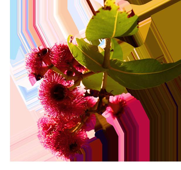 Corymbia cadophora ssp. pliantha, Twin Leaf Bloodwood