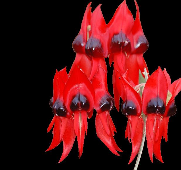 Swainsona formosa, Sturts Desert Pea